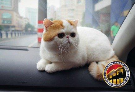Yavru Safkan Exotic Shorthair Kedi Irkı