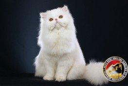 Yavru Safkan Modern İran (Persian) Kedi Irkı
