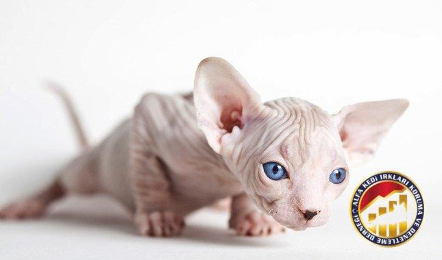 Yavru Safkan Sphynx Kedi Irkı