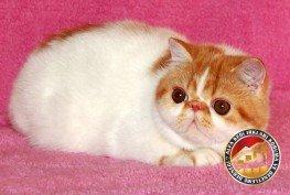 Yetişkin Safkan Exotic Shorthair Kedi Irkı