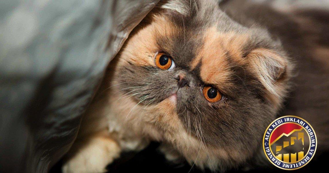 Yetişkin Safkan Modern İran (Persian) Kedi Irkı