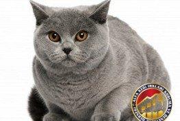 Yetişkin Safkan Scottish Fold Kedi Irkı