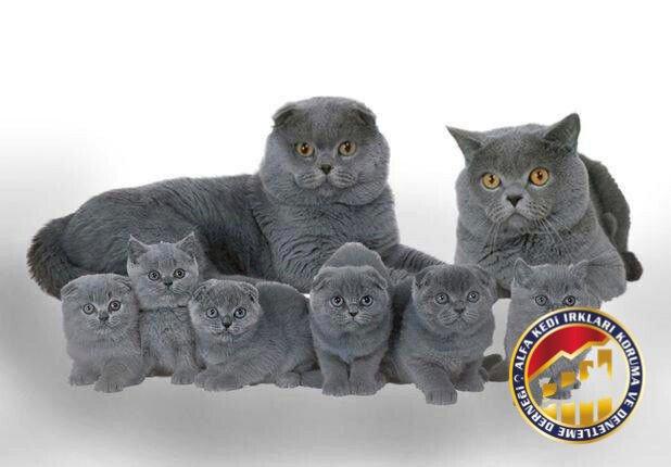 Yetişkin ve Yavru Safkan Scottish Fold Kedi Irkı