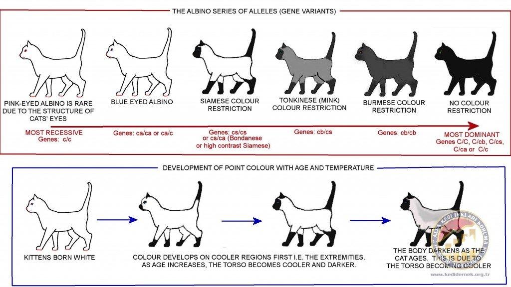 Albino SeriesAlfa Kedi Irkları Koruma ve Denetleme Derneği