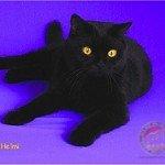 Black Solid Alfa Kedi Irkları Koruma ve Denetleme Derneği