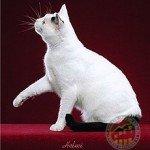 Black with White (Van Pattern) Alfa Kedi Irkları Koruma ve Denetleme Derneği