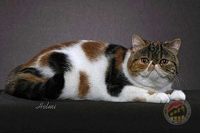 Brown Classic Torbie with White