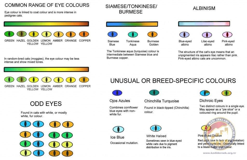 Eye ColoursAlfa Kedi Irkları Koruma ve Denetleme Derneği
