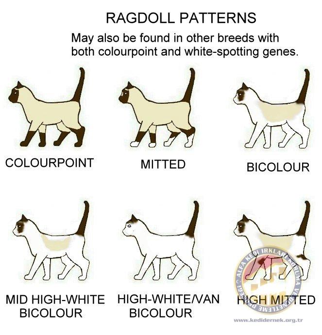 Ragdoll & BicolourpointsAlfa Kedi Irkları Koruma ve Denetleme Derneği