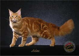 Red Classic Tabby