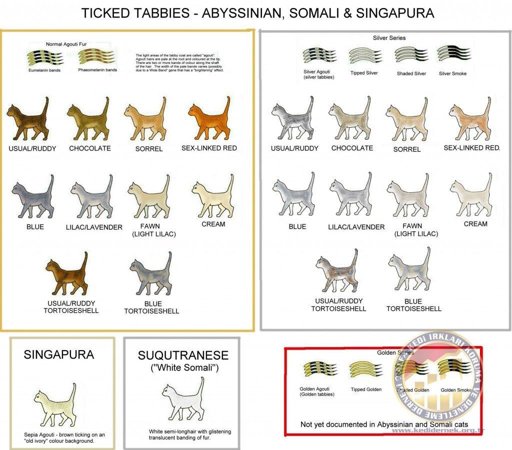Ticked Tabby ColoursAlfa Kedi Irkları Koruma ve Denetleme Derneği