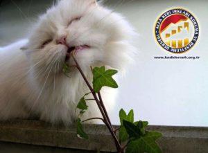 Ev Bitkilerini Yemek Alfa Kedi Irkları Koruma ve Denetleme Derneği