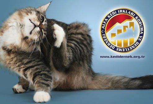 Kedi Deri ve Kürk Sorunları Hakkında Merak Ettiğiniz Her Şey Alfa Kedi Irkları Koruma ve Denetleme Derneği
