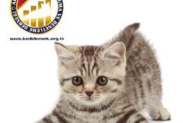 Kedi mi Aldınız? Bunları Biliyor musunuz? Alfa Kedi Irkları Koruma ve Denetleme Derneği