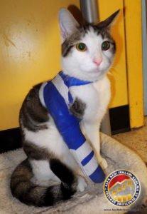 Kedilerde İşleyen Yaralar Hakkında Merak Ettiğiniz Her Şey Kırık Alfa Kedi Irkları Koruma ve Denetleme Derneği