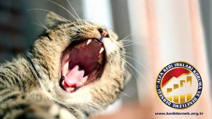 Kedilerde Ağız ve Dişler Hakkında Her Şey Alfa Kedi Irkları Koruma ve Denetleme Derneği
