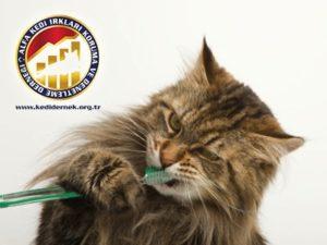 Kedilerde Bedensel Bakım Hakkında Her Şey Diş Fırçalama Alfa Kedi Irkları Koruma ve Denetleme Derneği