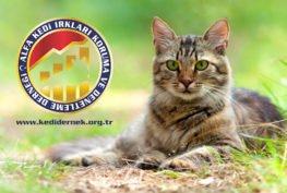 Kedilerde Dışarıya Çıkmayla İlgili Dikkat Edilmesi Gerekenler Alfa Kedi Irkları Koruma ve Denetleme Derneği