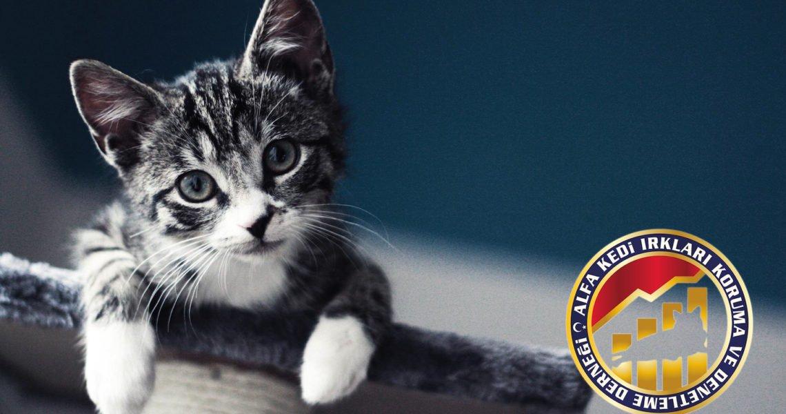 Kedilerde Kaslar, Kemikler ve Eklemler Hakkında Merak Ettiğiniz Her Şey Alfa Kedi Irkları Koruma & Denetleme Derneği