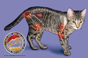 Kedilerde Kaslar, Kemikler ve Eklemler Hakkında Merak Ettiğiniz Her Şey Alfa Kedi Irkları Koruma ve Denetleme Derneği Artrit