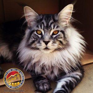 Kedilerde Kaslar, Kemikler ve Eklemler Hakkında Merak Ettiğiniz Her Şey Maine Coon Alfa Kedi Irkları Koruma ve Denetleme Derneği
