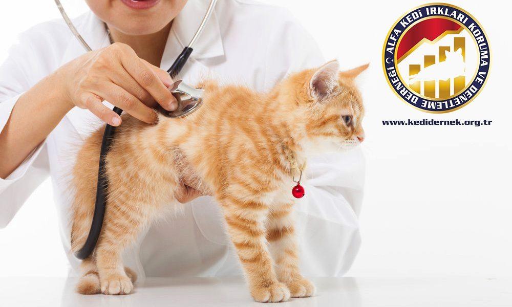 Kedilerde Kaza Olduğunda Hakkında Merak Ettiğiniz Her Şey Alfa Kedi Irkları Koruma ve Denetleme Derneği