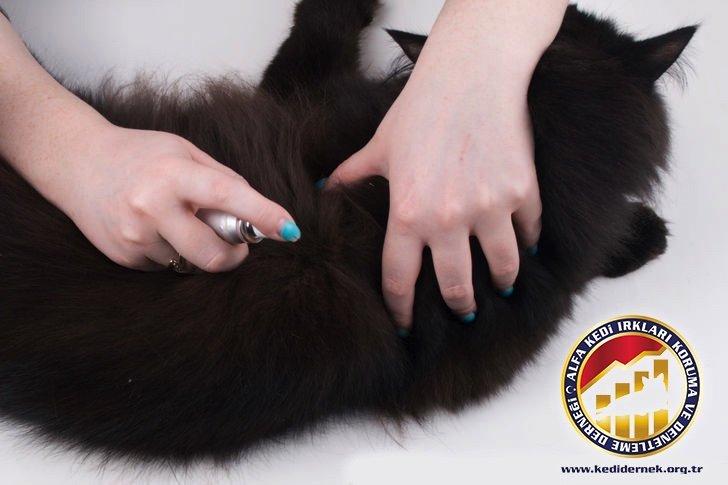 Kedilerde Parazit Denetimi Hakkında Her Şey Alfa Kedi Irkları Koruma ve Denetleme Derneği