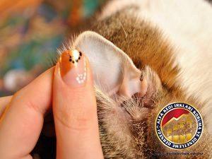 Kedilerde Parazit Denetimi Hakkında Her Şey Kulak Akarları Alfa Kedi Irkları Koruma ve Denetleme Derneği