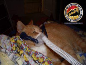 Kedilerde Solunum Yolu Hastalıkları Hakkında Merak Ettiğiniz Her Şey Boğulma Alfa Kedi Irkları Koruma ve Denetleme Derneği