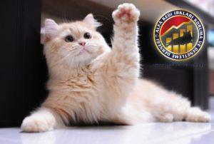 Kedilerde Temel Eğitim Hakkında Merak Ettikleriniz Çak Bir Beşlik Alfa Kedi Irkları Koruma ve Denetleme Derneği