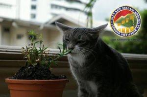 Kedilerde Zehirlenme Hakkında Her Şey Kedilerde Zehirlenme Alfa Kedi Irkları Koruma ve Denetleme Derneği