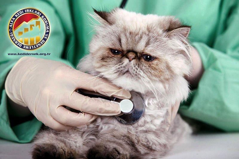 Kedinizi Muayene Etmek Hakkında Her Şey Alfa Kedi Irkları Koruma ve Denetleme Derneği
