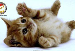 Kedinizi Nasıl Eğitebilirsiniz? Alfa Kedi Irkları Koruma ve Denetleme Derneği