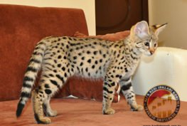 Kedinin İnsana Gelişi ve Tarihleri