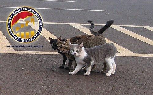 Kediler ve Trafik