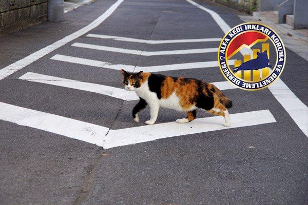 Kedilerin Can Düşmanı Olan Trafik